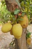 Jackfruitträd Arkivfoton