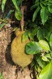 Jackfruitträd Royaltyfri Bild