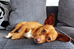 Jackhuahua小狗 免版税库存图片