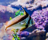 Jackknife fish also known as lance-shaped ribbonfish swimming a tropical marine sea life fish portrait of a exotic fish pet from t stock images