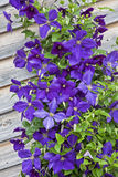 Jackman Clemantis. A beautiful hybrid purple flowering Jackman clemantis growing on a trellis on the side of a wooden building Stock Photo