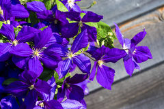 Jackman Clematis. Flowers blossoming in the summer garden. selective focus Royalty Free Stock Photography