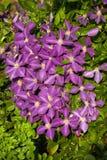 Jackmani Clematis in der Blüte Stockfoto