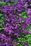 Jackmanii Clematis Flowers. Purple Jackmanii Clematis flowers completely covering a shepherd's hook in a woodland garden Stock Images