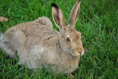 Jackrabbit. A huge snowshoe hare sitting on a field stock image