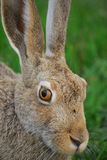 Jackrabbit. A huge snowshoe hare sitting on a field, close up stock photo