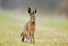 Jackrabbit Royalty Free Stock Image