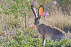 Jackrabbit. Sitting in the grass and wildflower in VLA, NM Stock Images