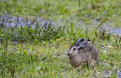 Jackrabbit Stock Photos