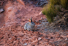 Jackrabbit in Arches National Park Stock Images