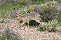 Jackrabbit in the desert. A lone jackrabbit (Lepus californicus) or hare runs away in scrub foliage in Death Valley National Park, California, USA Royalty Free Stock Image
