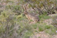 Jackrabbit in the desert Royalty Free Stock Photos