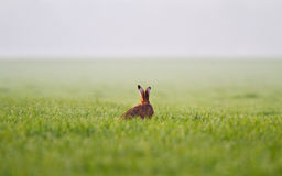 Jackrabbit in grass Royalty Free Stock Image