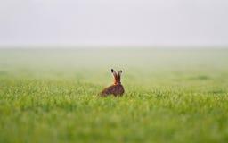 Jackrabbit in grass. Jackrabbit on a hazy morning in a meadow Royalty Free Stock Image