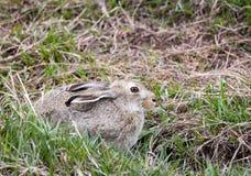 Jackrabbit. A jackrabbit hides on the Wyoming prairie Stock Photos