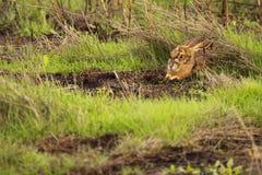 Jackrabbit Hiding In Grass Royalty Free Stock Photos