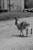 Jackrabbit hopping across the lane. In black and white Stock Photography