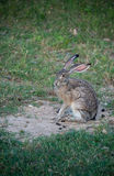 Jackrabbit with long ears in grassy meadow. Jackrabbit with long ears and legs in grassy meadow Stock Images