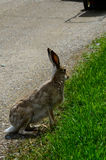 Jackrabbit paused on the side of a pathway. Close up Royalty Free Stock Photos