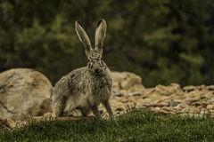 Jackrabbit ready to run away. Into the forest Stock Image