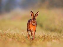 Jackrabbit running. A Jackrabbit or Brown Hare running on grass towards the camera Stock Images