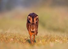 Jackrabbit running. A Jackrabbit or Brown Hare running on grass towards the camera Stock Photo