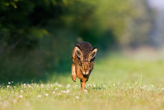 Jackrabbit running Stock Photography