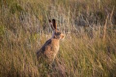 A jackrabbit sits in the dry prairie grass with ears alert. Stock Photography