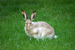 Jackrabbit Sitting stock images