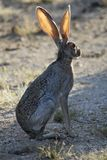Jackrabbit in Sonoran desert Stock Photos
