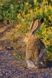 Jackrabbit In Sunlight. A Black-tailed Jackrabbit poses in the Colorado sunlight Stock Photography