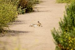 Jackrabbit sunning itself. On a dirt path in early morning at Bolsa Chica Wetlands Ecological Reserve in Huntington Beach California royalty free stock image