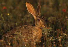 Jackrabbit in Wildflowers Stock Photography