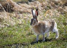 Jackrabbit. A jackrabbit on the Wyoming prairie Stock Photos