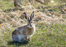 Jackrabbit. A jackrabbit on the Wyoming prairie Stock Photography