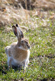 Jackrabbit. A jackrabbit on the Wyoming prairie Stock Images