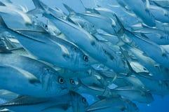 обучать рифа jacks барьера большой Стоковое Фото