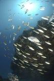 Jacks hunting small fusilier fish Royalty Free Stock Photo