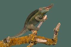 Jackson's变色蜥蜴Trioceros jacksonii 免版税图库摄影