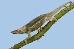 Jackson's Chameleon Trioceros jacksonii. Jackson's Chameleon climbing tree branch Royalty Free Stock Image