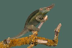 Jackson's Chameleon Trioceros jacksonii. Jackson's Chameleon climbing tree branch Royalty Free Stock Photography