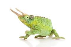 Jackson��s Chameleon Stock Image