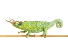 Jackson��s Chameleon Royalty Free Stock Photo