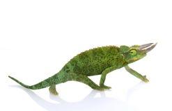 Jackson�s Chameleon Royalty Free Stock Photo