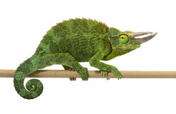 Jackson�s Chameleon Royalty Free Stock Photo