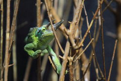 Jackson chameleon Royalty Free Stock Photography