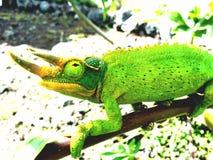 Jackson Chameleon stock photo