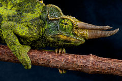 Jackson's chameleon stock photos