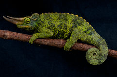 Jackson's chameleon Royalty Free Stock Images