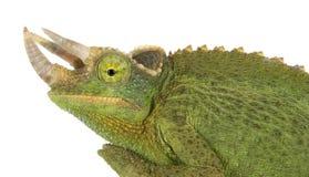 Jackson's Chameleon Stock Image